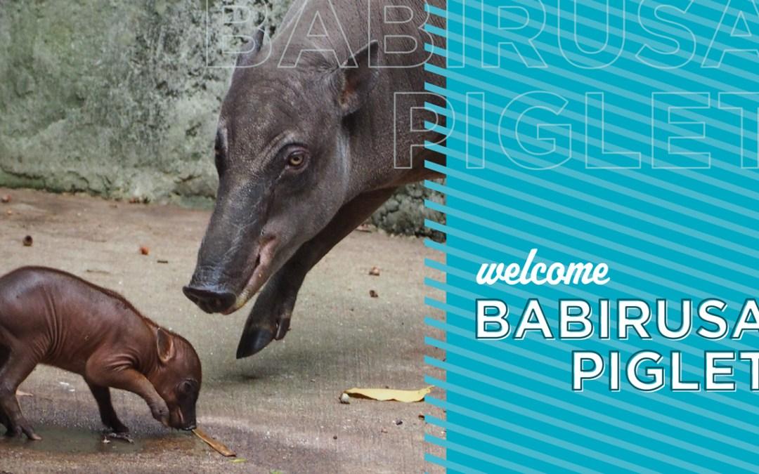 Nasce uma Babirusa no Disney's Animal Kingdom
