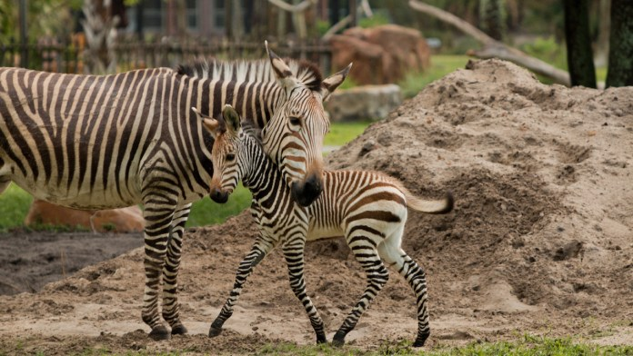 Phoenix the Zebra Foal Born at Disneys Animal Kingdom Lodge