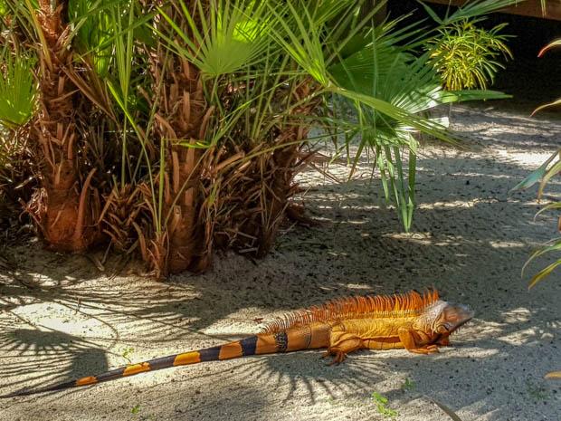 Iguana um dos animais de Belize