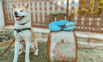 Athos nosso Akita viajante com sua mala pronto para uma Viagem pet friendly