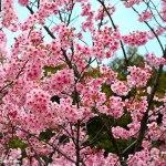 Festival de Sakura en Constanza