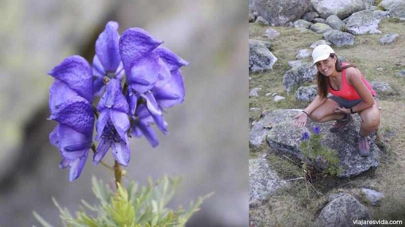 Acónito común en la excursión a Forau de Aiguallut