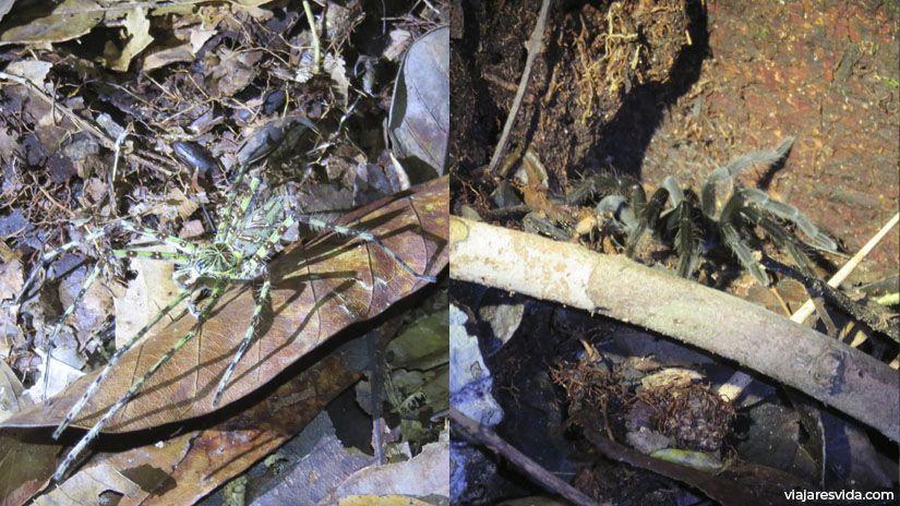 Arañas en el suelo durante el trekking nocturno en Tanjung Puting en Borneo