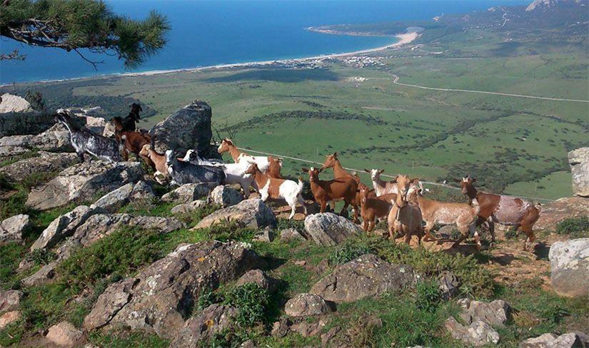 Cabras en la ruta senderista de Tarifa
