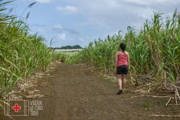 sugar canes Mauritius