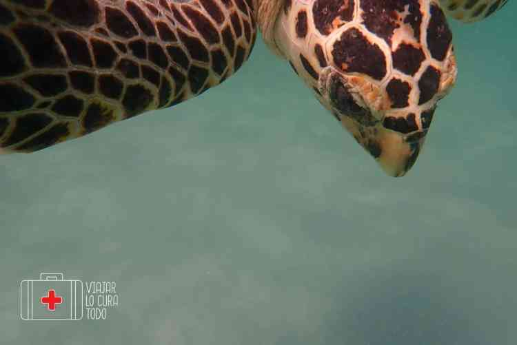 trikora beach turtle
