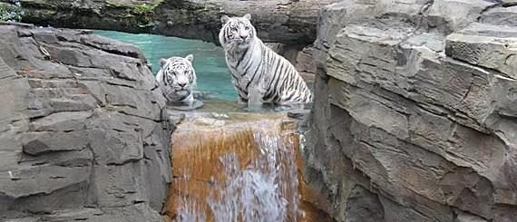 Tigres brancos de Bengala