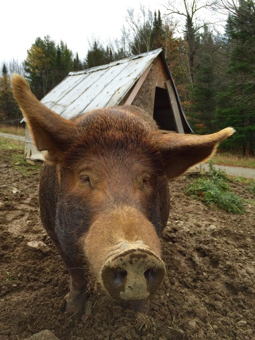 Prudence the Pig in Vermont