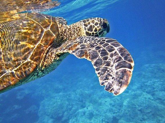 tortuga marina nadando en el mar caribe