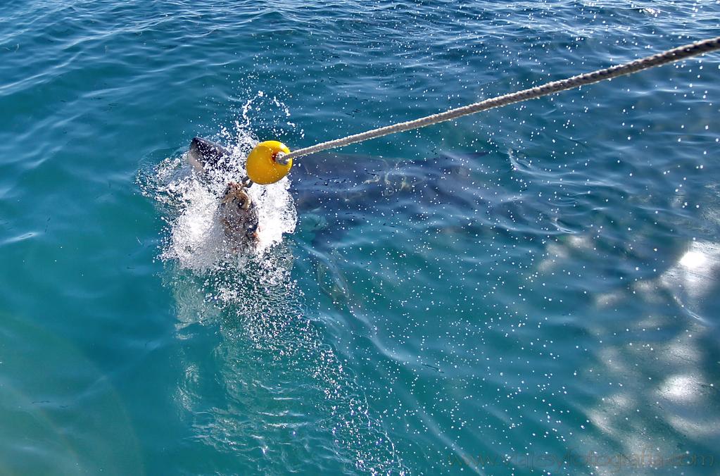 Tiburón blanco 5
