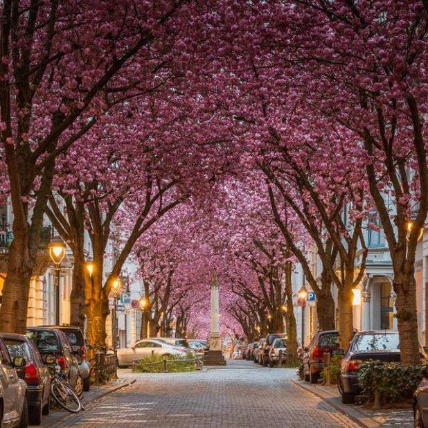 Cherry Blossom Avenue Bonn