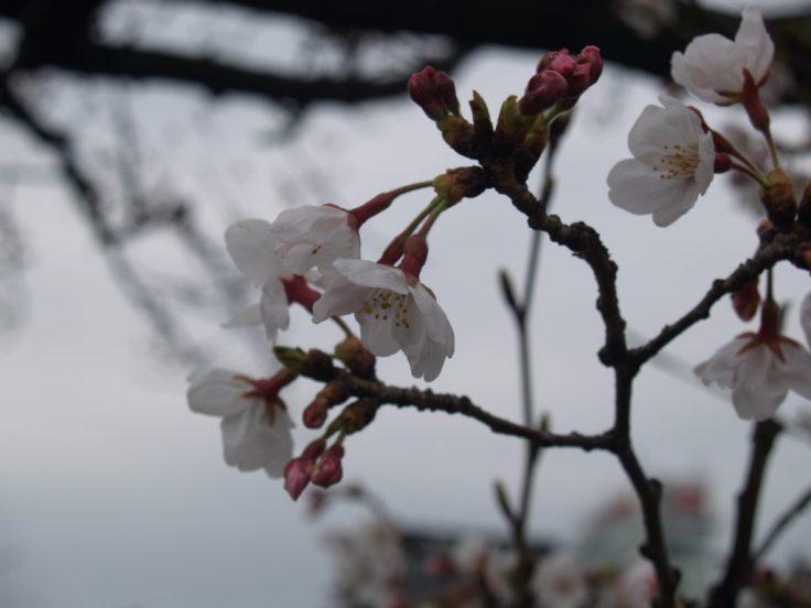 Flor cerezo, Hanami, Japón