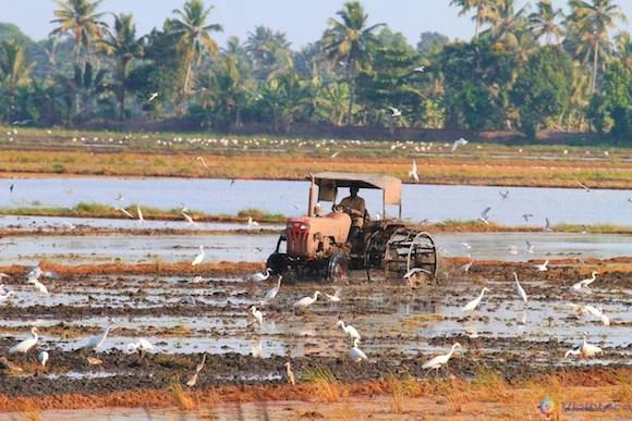 Campo de Cultivo de Arroz nos Backwaters do Kerala
