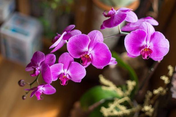 Orquidea mariposa (plantas de interior)