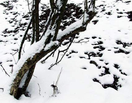 hawthorn spring
