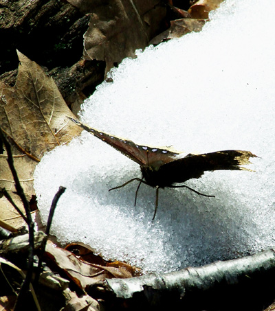 mourning cloak on snow 2