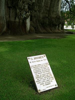 Tule tree poem by Juan de Dios Peza