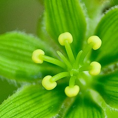False Hellebore by Jennifer Schlick
