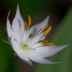 Starflower by Jennifer Schlick