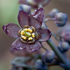 Blue Cohosh by Jennifer Schlick