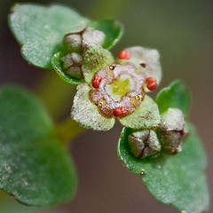 Golden Saxifrage by Jennifer Schlick