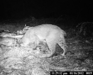bobcat at bait pile 2