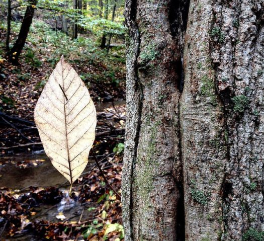 Fallen leaf of sucumber magnolia speared by a twig on the side of a sugar maple trunk beside the stream.