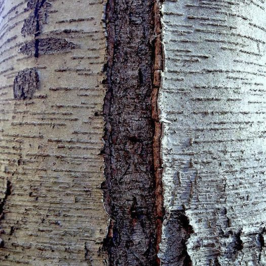 "Close-up of black birch bark, the horizontal lines dived by a vertical division into a sunlit ""page"" and a shadowed ""page."""