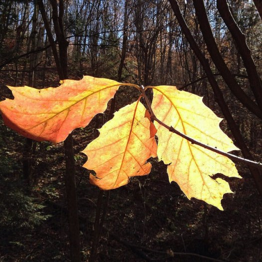 Three gold-and-red oak leaves backlit by the sun.