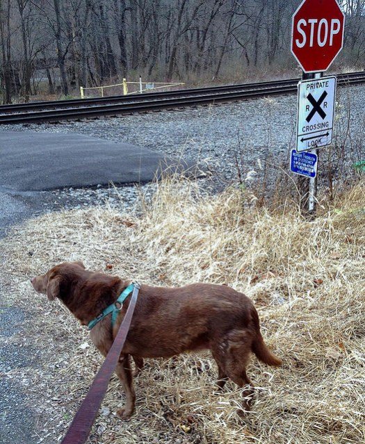 A dog on a leash stares at the railraod tracks next to a crossing sign.