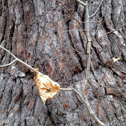 A rumpled leaf bend around a twig, hiding a crotch-like section of bark on a huge white pine.