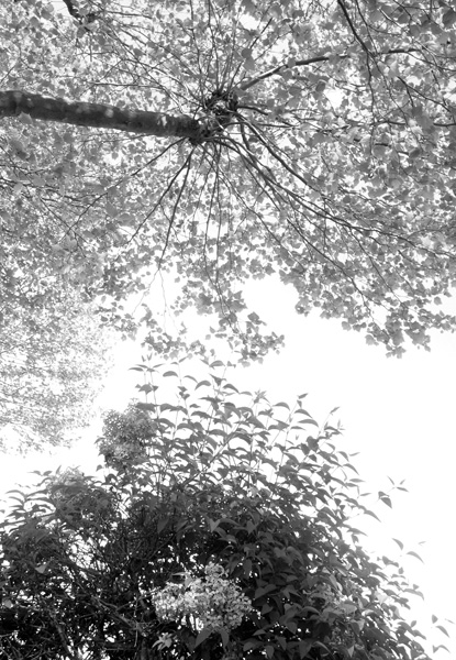 black-and-white photos of tree foliage seen from below