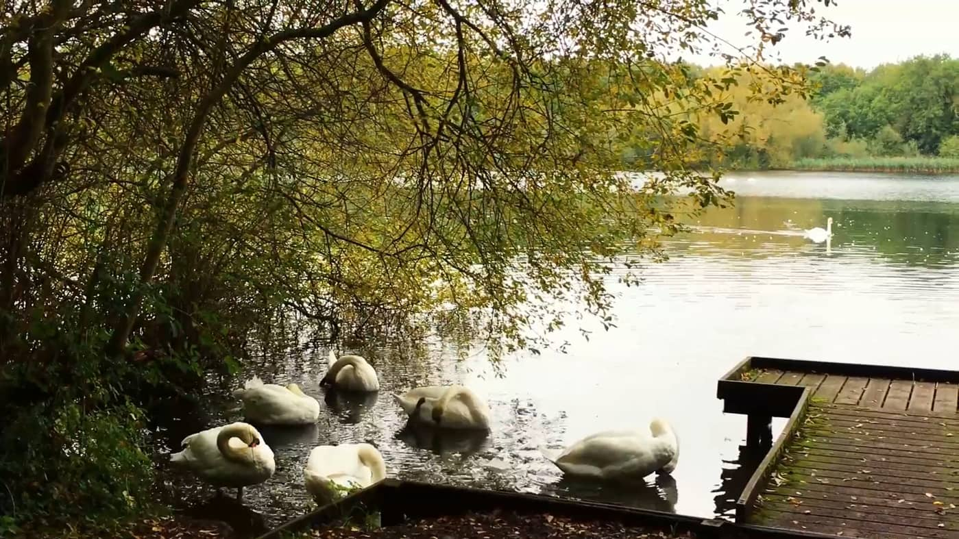 "still from ""Poetry festival"" showing a small groups of swans preening"