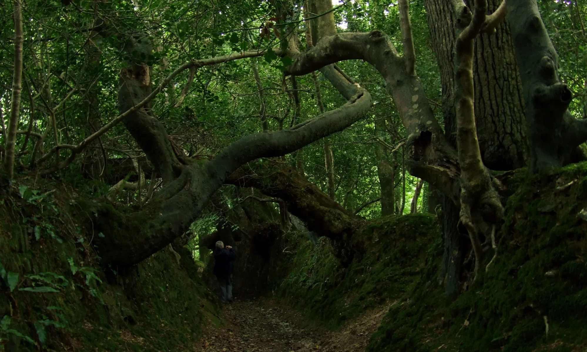 holloway overhung with ancient trees n Cornwall