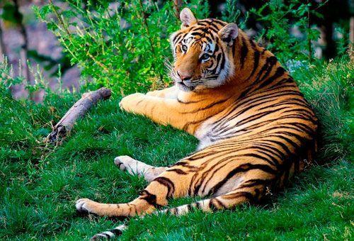 Viaje India - Norte de la India, Tigre de Bengala