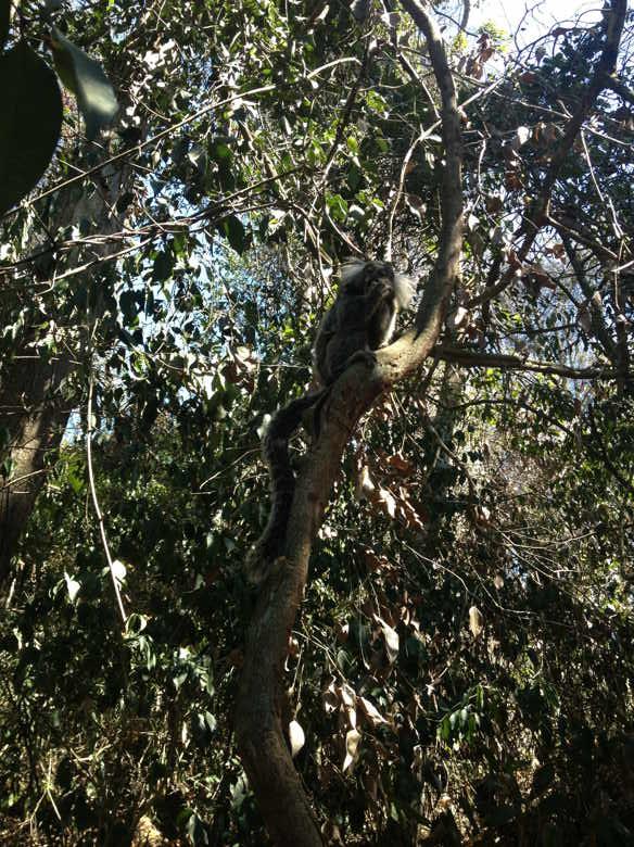 mico árvore trilha morro da urca