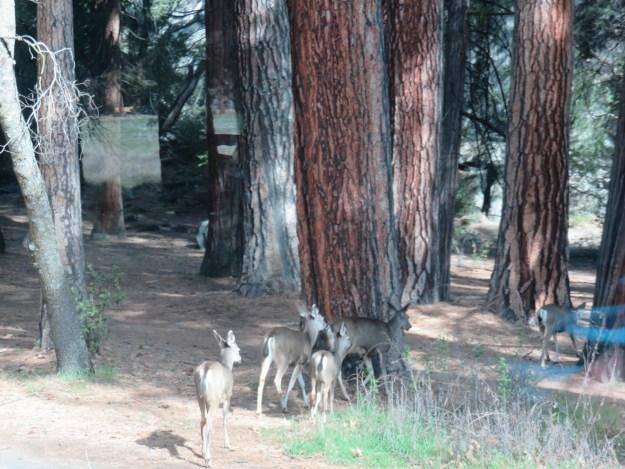 Cervos no caminho para a Vernal Fall. Foto: Marcelle Ribeiro