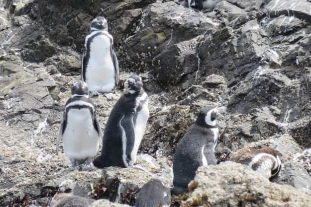 o-que-fazer-no-chile-pinguins