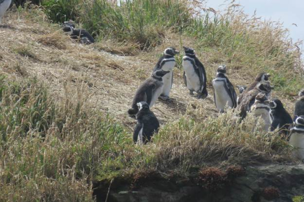 pinguins-pequenos-chiloe