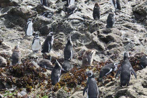 pinguinera-chiloe-chile