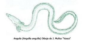 anguilaa