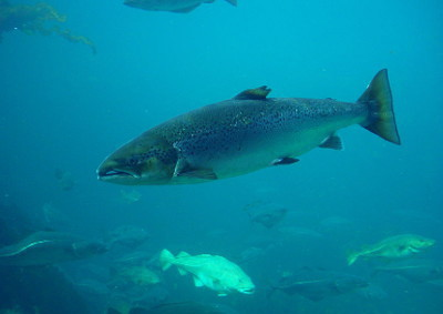 salmon2w