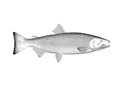 salmonpcw