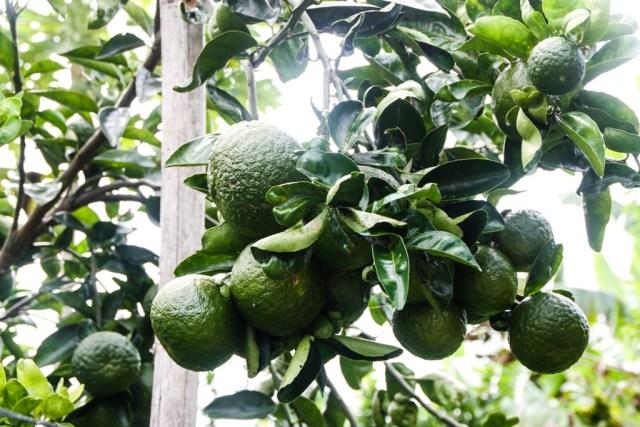 VCT - Fruit Orchard - James Pham-15