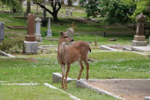 Deer in Ross Bay Cemetery, Fairfield Road, Victoria, B.C.