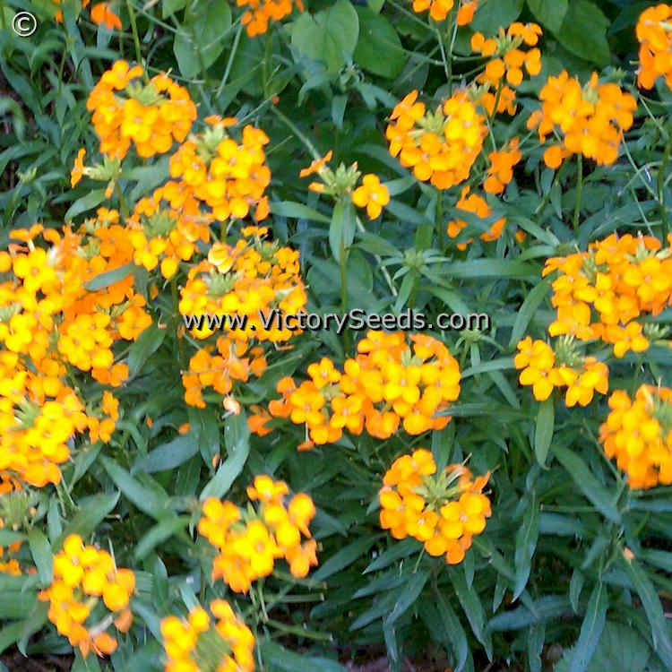 Siberian Wallflower  Cheiranthus allionii from Victory Seeds