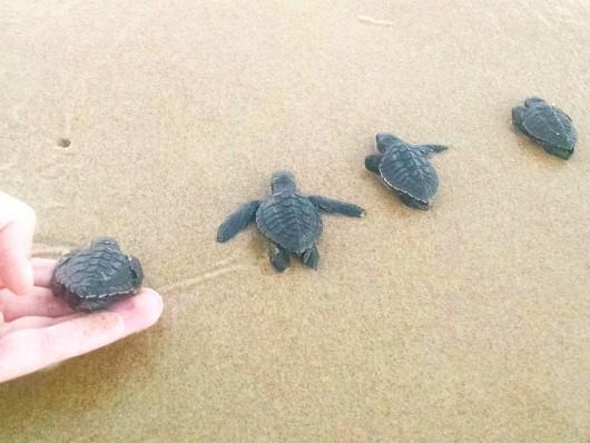 Soltura tartarugas - Oceanário de Aracaju - SE