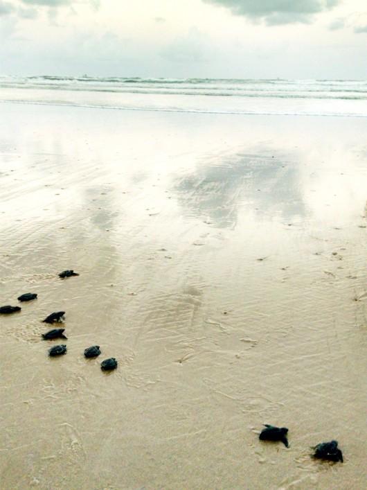 Tartarugas marinhas filhotes