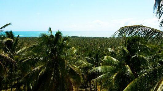 Coqueiros na Praia do Gunga - AL