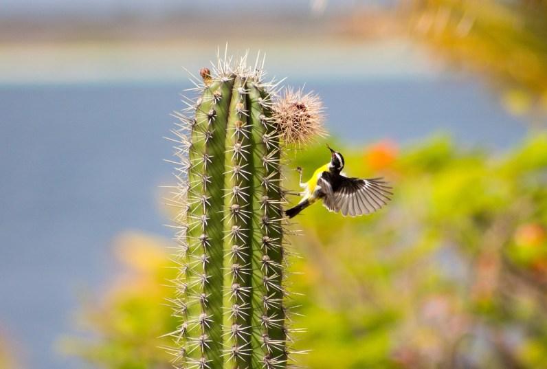 Cactus em Bonaire
